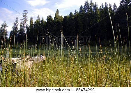 Reeds along the shore of a mountain lake in Montana