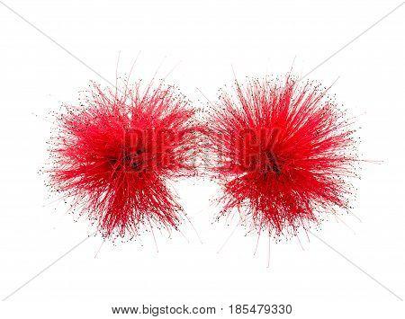 Close up of Red Powder Puff or Calliandra haematocephala Hassk isolated on white background