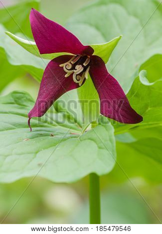 The red trillium is found in woodlands and is also known as a stinking Benjamin.