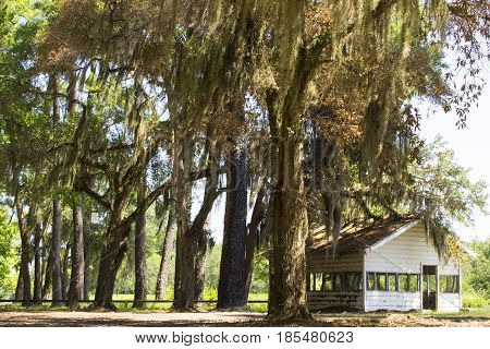 The warm breeze blows the spanish moss hanging from the live oaks in the deep south
