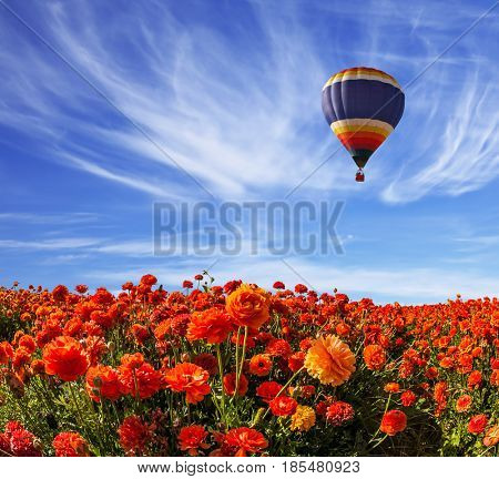 Light cirrus clouds portend a warm day. The multi-color balloon slowly flies over blossoming fields of garden buttercups. Concept of rural and extreme tourism