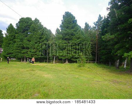 Siberian cedar. Relict tree. Siberia summer, August month.