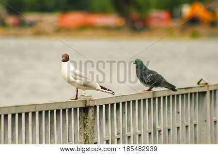 pigeon seating with Black-headed seagull at fence