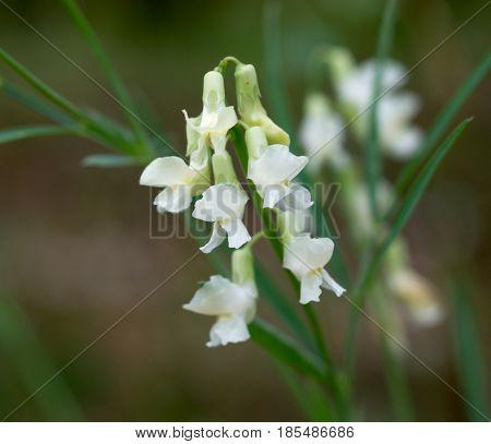 flower dandelion in spring bloom outdoors in nature.Macro shot of dandelion flower.