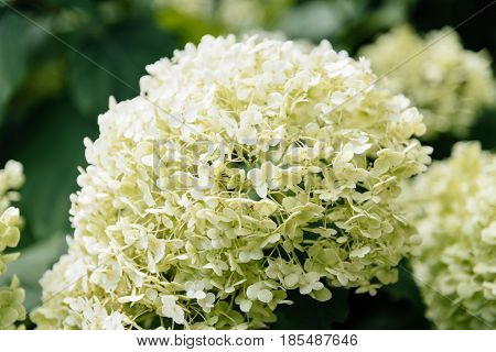 Hydrangea is a snowball shaped flower which looks like a white cotton candy on a stick.