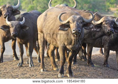 A herd of African buffalo (Syncerus caffer) in early morning light. Ol Pejeta Conservancy Kenya.