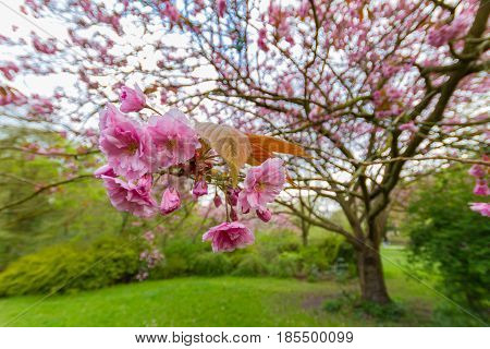 Kwanzan Cherry Tree Blossoms And Leaves, Jesmond Dene, Newcastle, Uk