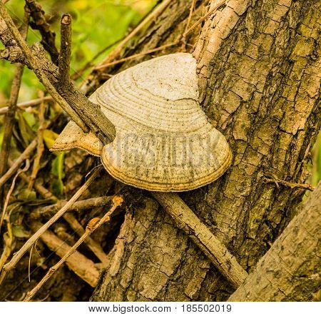 Closeup of shelf mushroom on side of tree with tree branch growing through the mushroom.