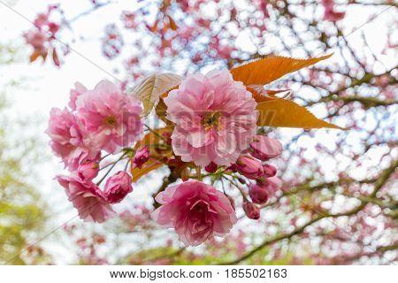 Blossoms Of Kwanzan Cherry Tree Close-up, Jesmond Dene, Newcastle, Uk