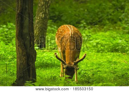 Deer Sniffs around the forest - captive animals