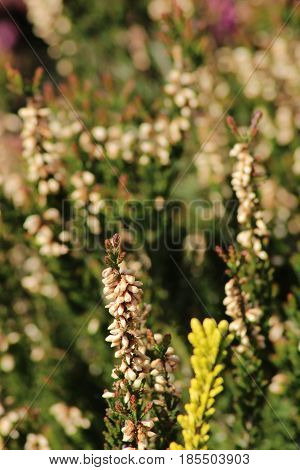 Heather /This is extensive heath with many kinds Heather.