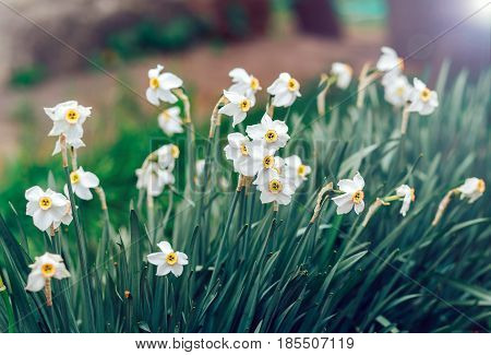 The white flowers are large daffodils in your area