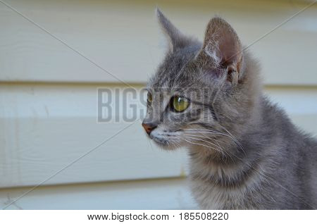 Small gray cat photographed close-up against a white wall background