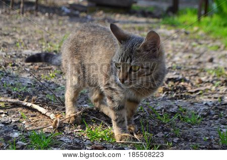 A small cat of Bengali breed walks in nature