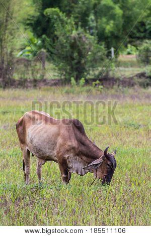 Thai brown cow in field , mammal
