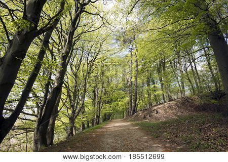 Early spring trail through a Danish beech forest that has just sprung out