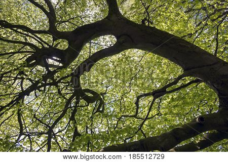Trees with early green beech leaves in a Danish forest