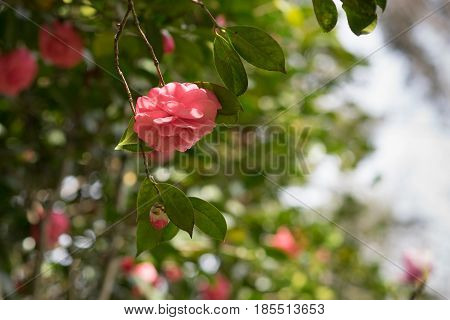 Camellia flower on blurred background with bokeh leaves