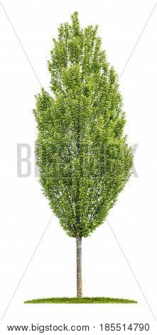 Isolated Hornbeam Tree On A White Background