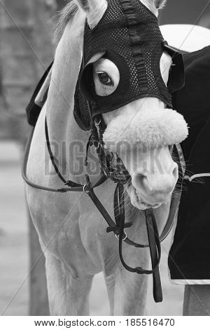 White race horse head with blinkers. Paddock area. Vertical