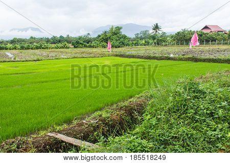 Green Rice seedlings in rice field, lanscape