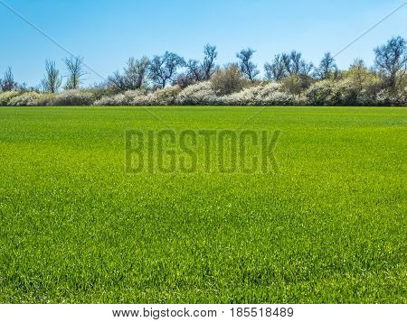 Field sown with winter green wheat against the background of a flowering blackthorn