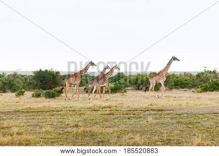 animal, nature and wildlife concept - group of giraffes walking along maasai mara national reserve savannah at africa