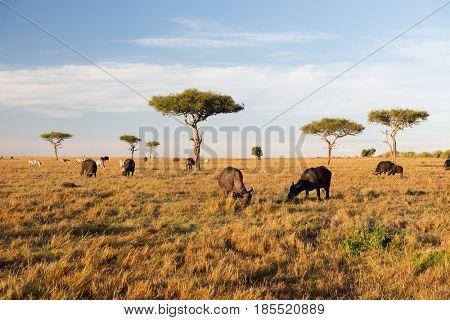 animal, nature and wildlife concept - buffalo bulls grazing in maasai mara national reserve savannah at africa