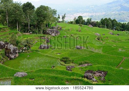 View on terrace rice fields in the beautiful land Tana Toraja being on an Indonesian island Celebes