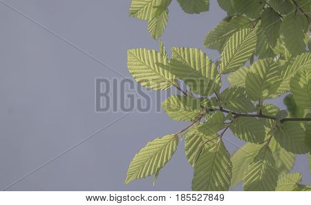 Beech leaves on a background of the blue sky in the garden