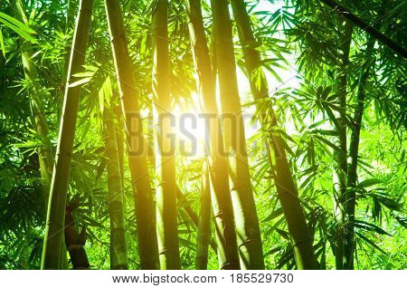 Asian bamboo forest landscape with morning sunlight.
