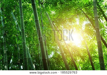 Asian bamboo forest landscape with beautiful morning sunlight.
