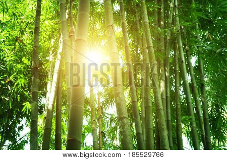 Asian bamboo forest with beautiful morning sunlight.