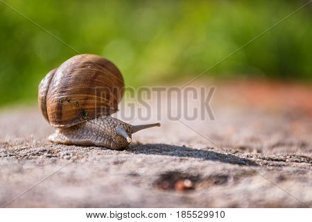 Snail Moving Slowly On The Rock In The Green Grass