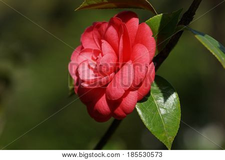 Beautiful pink Camellia flower with green lacquer leaves on blurred background