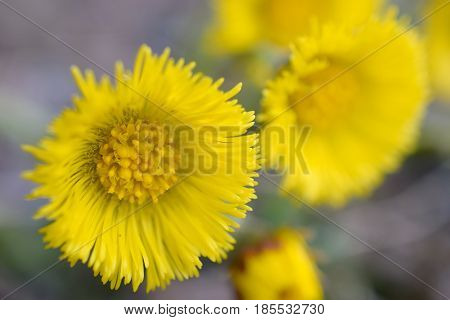 Yellow flowers. Tussilago farfara, commonly known as coltsfoot.