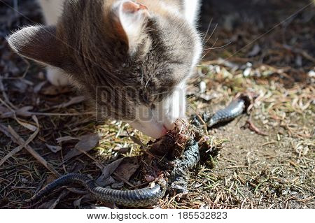 Domestic cat eating adder snake in garden.