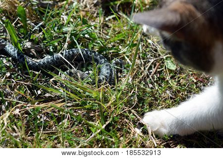 Domestic cat hunting adder snake in garden.