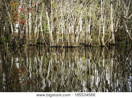 Trees growing the water of the everglades