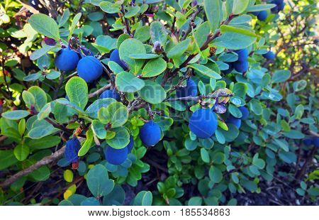 Wild blue bilberries bush in swamp forest.