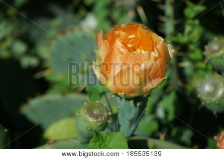 Orange flower of prickly pear on the thick green leaves