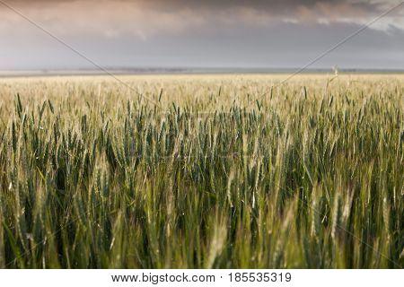 Wheat Field in South Australia