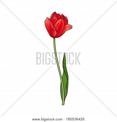 Hand drawn of side view red open tulip flower, sketch style vector illustration isolated on white background. Realistic hand drawing of tulip flower, decoration element