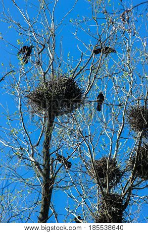 Crows and crow's nests on trees, natural background with bird