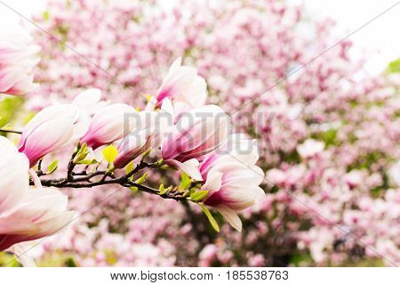 Magnolia Blossoming Flowers In Spring Time In Garden