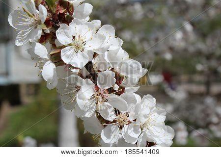 ветка цветущего абрикоса крупным планом на размытом фоне
