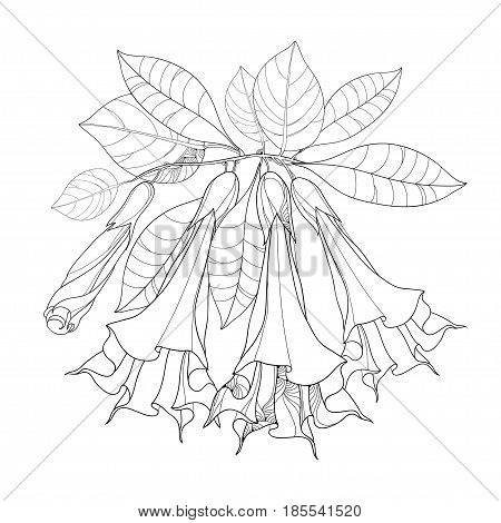 Vector branch with Brugmansia arborea or Angels Trumpets. Outline flower, bud and foliage isolated on white. Floral elements in contour style with Brugmansia for summer design and coloring book.