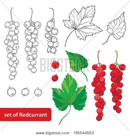 Vector branch with outline Red currant. Bunch, ripe red berry and green leaves isolated on white background. Ornate floral elements with redcurrant in contour style for summer and eco design.