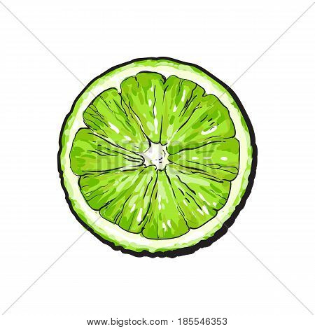 Top view round slice, half of ripe green lime, sketch style vector illustration on white background. Hand drawn lime cut in half, round slice