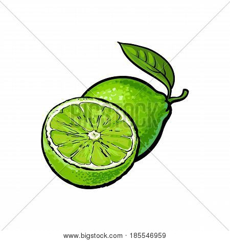 Whole and half unpeeled ripe green lime, sketch style vector illustration isolated on white background. Hand drawn whole and sliced juicy lime fruit with fresh green leaf